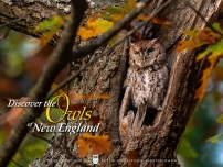 owls-of-new-england-brown-morph-version