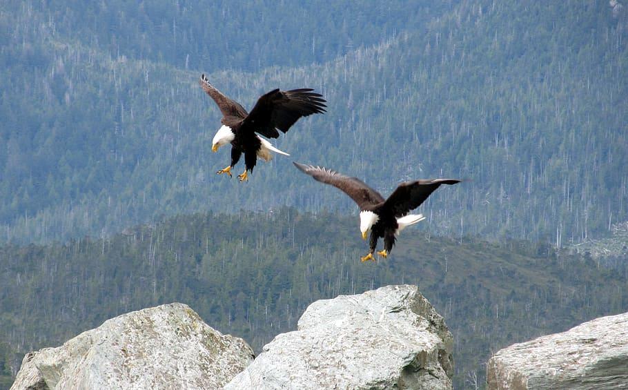 bald-eagles-flying-birds
